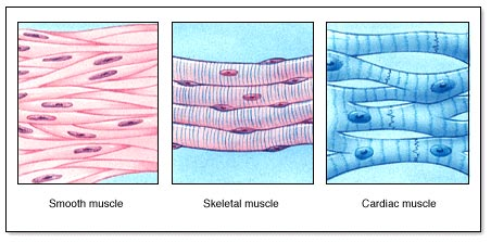 what do muscle cells do? | socratic, Human Body